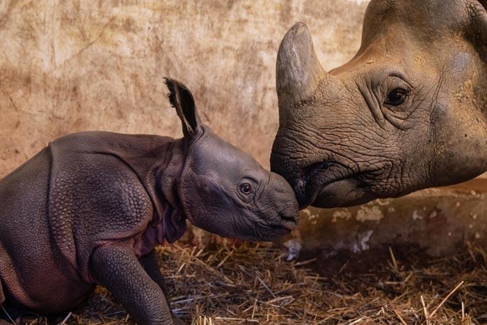 Jonge neushoorn geboren