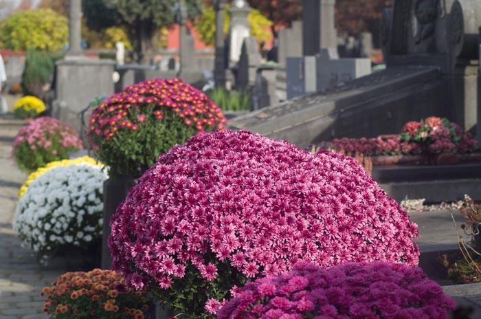 Chrysanten op Stedelijke Begraafplaats Mechelen