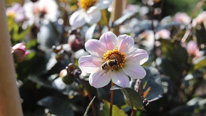 Bloemen en bijen in het Vrijbroekpark te Mechelen