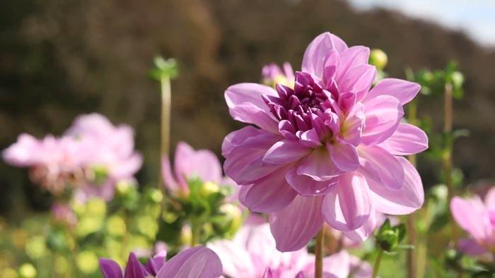 Dahlia bloemen in de zomertuinen van het Vrijbroekpark